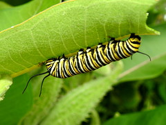 Monarch Caterpillar, Danaus plexippus (4) (Herman Giethoorn) Tags: monarch caterpillar larva insect milkweed