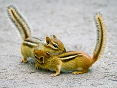 Morning Chip, Morning Dale (Scott M. Mohn) Tags: sciuridae tail fur wildlife nature animals cute minnesota mammal chipmunk outdoors pair two morning rodents striped paws sony ilca99m2