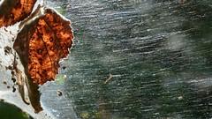 Spider webbing and Wild Blackberry (Treebeard) Tags: california spider web santabarbaracounty rosaceae sanmarcospass rubusursinus wildblackberry agelenidae linyphiidae sheetwebweaver funnelwebweaver