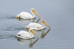 American White Pelicans on Parade (marlin harms) Tags: pelecanuserythrorhynchos americanwhitepelican