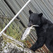 Bear catches hen Chum Salmon at Fish Weir