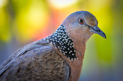 Spotted Dove (RWGrennan) Tags: spotted dove bird macro eye color light nikon d610 tokina 100mm feathers close green dof bokeh travel nature wildlife kauai hawaii rwgrennan rgrennan ryan grennan spilopelia chinensis princeville