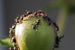 Ants on a Peony - DSC_4155a (Markus Derrer) Tags: ant peony flower insect macro closeup markusderrer manitoba june