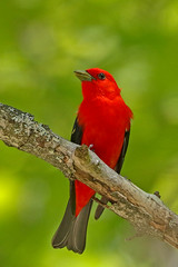 Scarlet Tanager (Alan Gutsell) Tags: scarlettanager scarlet tanager michigan tahquamenonfalls statepark wildlife pirangaolivacea cardinal migration red nature bird upper peninsula wildlifephoto photography june breeding