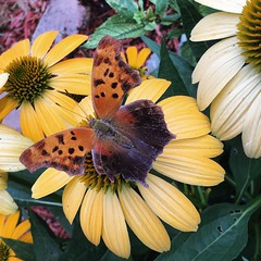 Visiting my flower gardens... North American nymphalid butterfly, Question Mark Butterfly (Kim Beckmann) Tags: