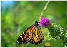 Monarch and Thistle (mooncall2012) Tags: toronto ontario monarch butterfly trillium park