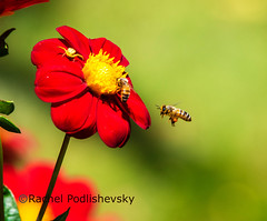 The Bees are back! (Rachaly) Tags: flower bees bee park coth elitegalleryaoi bestcapturesaoi aoi