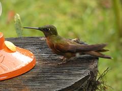 Fawn-breasted Brilliant (Heliodoxa rubinoides) (Luis G. Restrepo) Tags: trochilidae p3960241 ave bird birdwatching ríoblanco manizales caldas colombia southamerica colibrí hummingbird