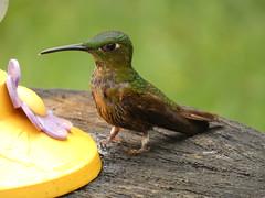 Fawn-breasted Brilliant (Heliodoxa rubinoides) Juvenile (Luis G. Restrepo) Tags: trochilidae p3960263 ave bird birdwatching ríoblanco manizales caldas colombia southamerica colibrí hummingbird