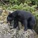 Bear with Chum on the Rocks75 189