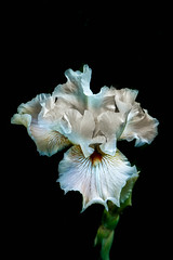 White Iris With Black Background (http://fineartamerica.com/profiles/robert-bales.ht) Tags: emmett forupload haybales idaho iris people photo places plants projects states flags flag perennialherbs rhizomes bulbs perianth inferiorovary flora one bloom blossom stem nature flower closeup green violet botany blossoming bearded petal yellow sunshine sensational spectacular awesome magnificent peaceful inspiring inspirational wow stupendous tranquil flowerbulbs flowerspikes bisexualflowers cutflowers robertbales iphone spring isolated flowerarrangement white vignette macro greetingcards blackbackground