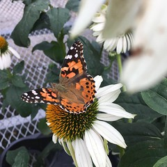 Found this beautiful Painted Lady butterfly while we were doing our Sunday perusing of plant nurseries (Kim Beckmann) Tags: