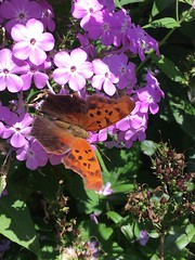 Visiting my flower gardens... North American nymphalid butterfly, aka Question Mark Butterfly (Kim Beckmann) Tags: