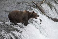 Brown bear_4755.4 (raptor wack) Tags: nature wildlife wildlifephotography bear coastalbrownbear grizzly katmai alaska nikkor80400 nikon nikond850 dangthatwasfun fishing gonefishing naturephotography salmon salmonfishing