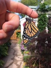 Releasing our first Monarch butterfly this season (Kim Beckmann) Tags: