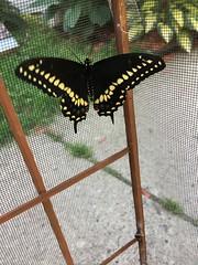 Raising Eastern Black Swallowtail (Kim Beckmann) Tags: