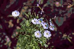 Daisies! (maginoz1) Tags: flower flowers rose daisy herbs abstract art manipulate contemporary winter august 2019 bulla melbourne victoria australia alisterclarkmemorialrosegarden canon eos r