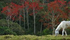Tarde de contrastes (Márcia Valle) Tags: horse cavalo mulungu erythrina árvores natureza nature brasil brazil florabrasilewira brazilianflora mataatlântica nikon d5100 inverno wintertime flores flowers