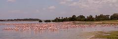 flamingos (Tiago_Moreira23) Tags: africa kenya amboseli national park flamingos flamingo safari canon nature free animals trip old camera good photos 50d sigma 1750