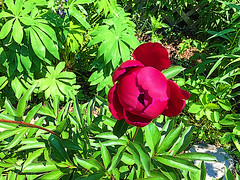 blossoming ~ opening the heart to life (77ahavah77) Tags: