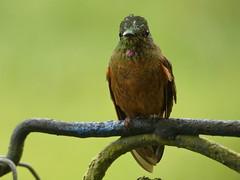 Fawn-breasted Brilliant (Heliodoxa rubinoides) (Luis G. Restrepo) Tags: trochilidae p3970476 colibrí hummingbird ave bird birdwatching ríoblanco manizales caldas colombia southamerica