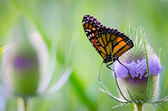 Beauty and delicacy (Sean X. Liu) Tags: butterfly nature monarch colorful markham ontario canada