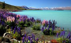 Russell Lupins. Lake Tekapo.NZ (Bernard Spragg) Tags: laketekapo glaciallakes sony flowers nature mountains scenery landscapes russelllupins cco