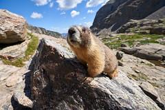 Curious marmot (matt.sellars) Tags: colorado explore hike hiking mountains outdoors outside rockymountainnationalpark skypond travel marmot wildlife wildanimals