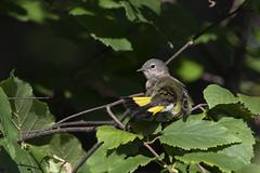 American redstart (Peter Stahl Photography) Tags: americanredstart redstart warbler