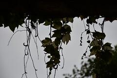 DSC_5168 (griecocathy) Tags: végétations vigne contre jours ciel ombre noir crème vert gris