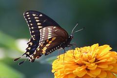 Black Swallowtail butterfly on Zinnia (-SOLO--) Tags: garlicfarm blackswallowtail butterfly zinnia yellow black canon 6d 2019