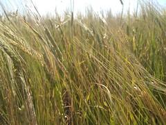 Field of spikelets (Sankab) Tags: field nature spikes wheat rye oats bloom meadow grains