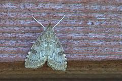 Udea prunalis (urmas ojango) Tags: lepidoptera liblikalised insecta putukad insects moth rohuleediklased crambidae nationalmothweek udeaprunalis