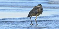 Heron 2519 (Jeff Brough) Tags: heron greatblueheron oregon beach surf wader shorebird jeffbrough ardeaherodias