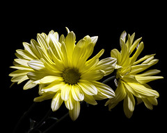Moving to the Side 1026 (Tjerger) Tags: nature flower flowers bloom blooms blooming daisy daisies plant natural flora floral blackbackground portrait beautiful beauty green fall wisconsin macro closeup white yellow three trio