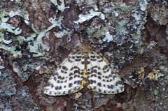 Sinikavaksik; Arichanna melanaria (urmas ojango) Tags: lepidoptera liblikalised insecta putukad insects moth vaksiklased geometridae nationalmothweek sinikavaksik arichannamelanaria