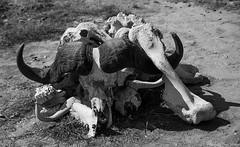buffalo skull-normal nature (Tiago_Moreira23) Tags: buffalo skull africa kenya amboseli national park safari canon nature free animals trip old camera good photos 50d sigma 1750 normal