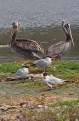Pelican Symmetry (Grazerin/Dorli Burge) Tags: pelican bird royaltern waterbird symmetry water lagoon malibulagoon
