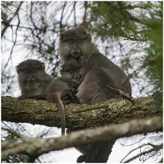 Samango family (Don Chisciotte89) Tags: monkey hogsback africa sudafrica southafrica primates nature conservation iucn primatology ethology science