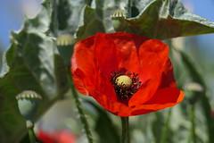 P1010416 (alainazer2) Tags: cadenet provence vaucluse france fiori fleurs flowers ciel cielo sky colori colors couleurs coquelicot poppy papavero