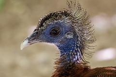 Profile:  Great Argus (Stephen G Nelson) Tags: bird pheasant zoo argus reidparkzoo tucson arizona