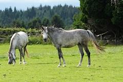 IMG_1727 (LezFoto) Tags: canoneos700d sigma 700d canon 120400mmf4556dgapooshsm digitalslr dslr canonphotography sigmalens horse aberdeenshire scotland unitedkingdom arabian arabhorse
