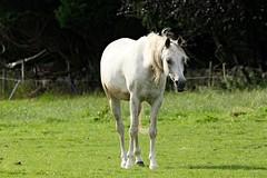 IMG_1724 (LezFoto) Tags: canoneos700d sigma 700d canon 120400mmf4556dgapooshsm digitalslr dslr canonphotography sigmalens horse aberdeenshire scotland unitedkingdom arabian arabhorse