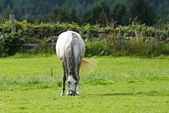 IMG_1723 (LezFoto) Tags: canoneos700d sigma 700d canon 120400mmf4556dgapooshsm digitalslr dslr canonphotography sigmalens horse aberdeenshire scotland unitedkingdom arabian arabhorse