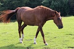 IMG_1693 (LezFoto) Tags: canoneos700d sigma 700d canon 120400mmf4556dgapooshsm digitalslr dslr canonphotography sigmalens horse aberdeenshire scotland unitedkingdom arabian arabhorse