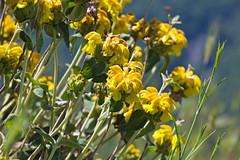 Flowers, Mikro Papigo, Greece (Miche & Jon Rousell) Tags: flowers lake mountains yellow greece dragonlake zagori astraka timfi mikropapigo shrine mary pindos pindosmountains shrineofevangelistria