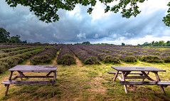 Sun rays on a gloomy day... (Aleem Yousaf) Tags: lavender farm family run surrey downs tree benches 1835mm wide angle rows leading lines arrangement purple sun rays lit dark clouds overcast nikon d850 nikkor tripod epsom magic fantasy gloom flickr camera digital august rain summer day photography photo walk nature lanes