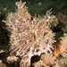 Antennarius striatus anglerfish #underwatersydney #marineexplorer
