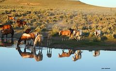 Mustangs! (calljohn3) Tags: horse horses mustangs equine mare stallion oregon nature wildlife