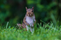 2019.07.09.4322 Squirrel! (Explored) (Brunswick Forge) Tags: 2019 virginia grouped animal animals animalportraits botetourtcounty evening fx nikkor200500mm nikond750 wildlife nature outdoor outdoors spring air sky explored commented favorited